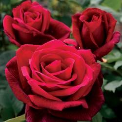 "Rosa ""Mr Lincoln"" vaso 19"