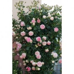 Rosa rampicante Pierre de...