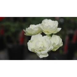 Rosa 'Morsdag' vaso 19