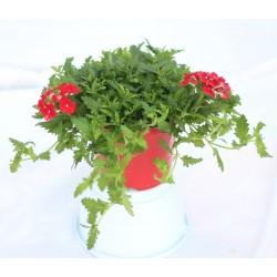 Verbena vaso 14-colori mix