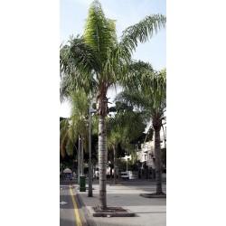 Cocos plumosa h 4,5 mt