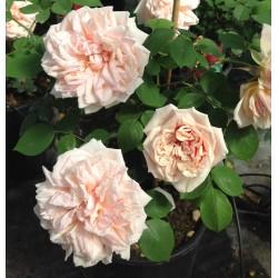 "Rosa rampicante ""Glorie de..."