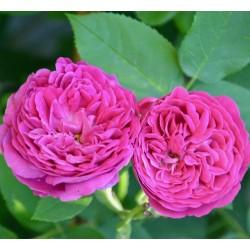 Rosa bruna da sciroppo