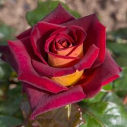 Rosa Eddy Mitchell-vaso 19