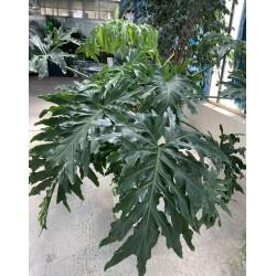 Filodendro selloum v35