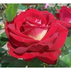 Rosa Bicolette vaso 19