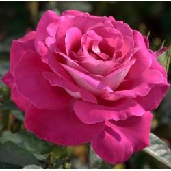 Rosa BARONNE EDMOND DE...