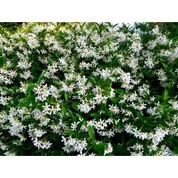 Rincospermum (falso...