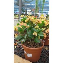 Euphorbia Lomi v24