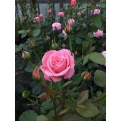 Rosa floribunda 'Sexy rexy'...
