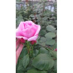 Rosa rampicante 'Ghita'...
