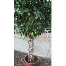Ficus benjamin con rami...