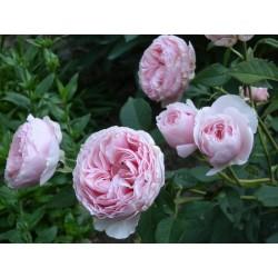 Rosa 'Gartentraume' vaso 19