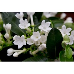 Stephanotis  vaso 15